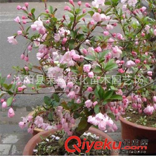 出售盆栽花卉 垂丝海棠盆景苗 造型优美 适合家庭种植