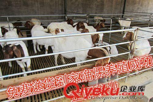 河南涧西波尔山羊养殖场 河南瀍河波尔山羊养殖场 河南养羊场(图)图片