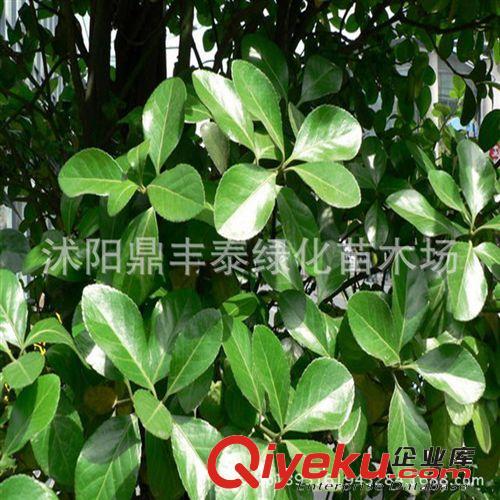 矛苗扦插苗四季常青绿化树
