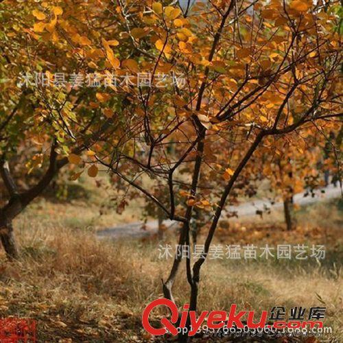 红栌树盆景_