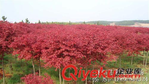 壁纸 成片种植 枫叶 风景 红枫 树 植物 种植基地 桌面 500_282