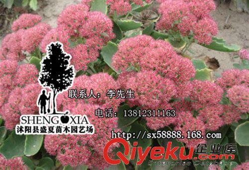 基地直销 地面绿化植物八宝景天 盆栽地栽 庭院花卉绿色植物花卉