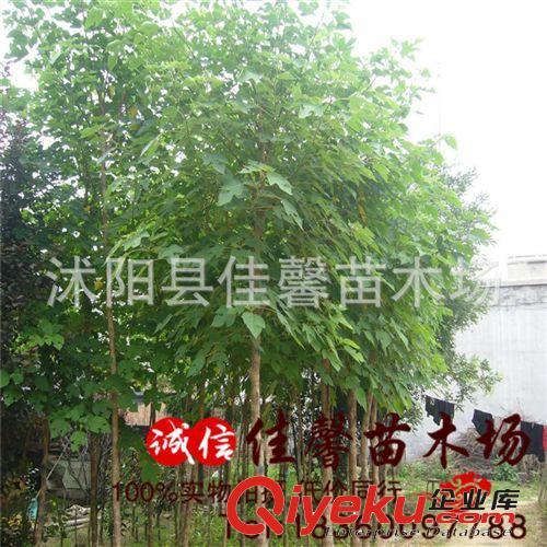 高大树种构树苗