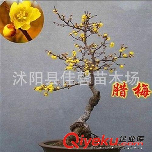盆景 花卉树桩腊梅花 苗红梅花盆景 腊梅盆景素心 高清图片