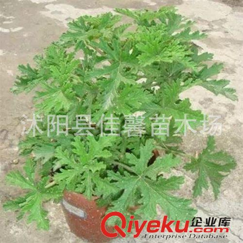 绿色植物驱蚊草盆栽花卉 防辐射 沭阳县佳馨苗