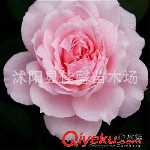 欧式粉色花型壁纸贴图素材