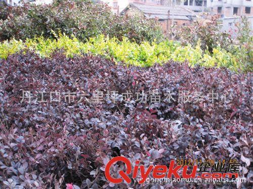 批发供应十堰成功苗木(80-1米冠)红继木球 红继木绿化