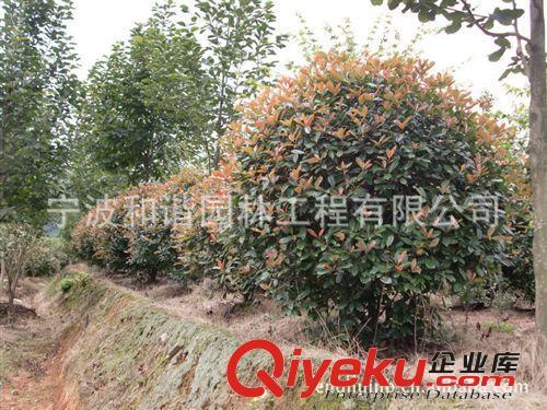 供应园林景观绿化灌木:红叶石楠球