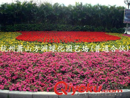 苗木基地供应时花 四季花卉