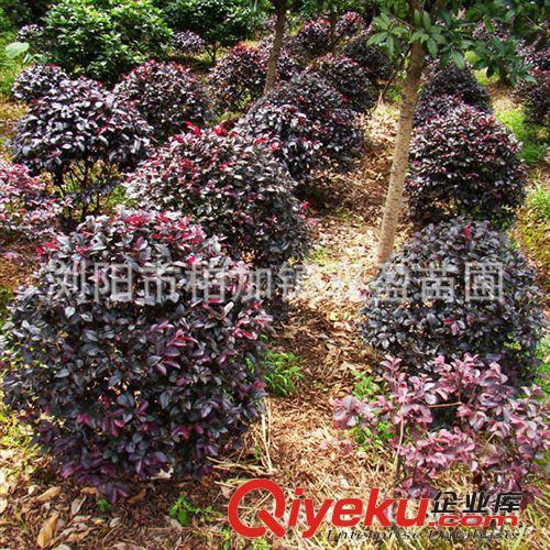 双盈苗圃供应红继木球.造型红继木桩.红球价格优惠品质保证