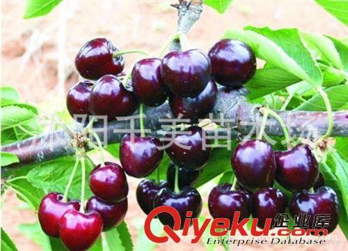 限时抢购 黑樱桃树苗 盆栽果树苗 黑珍珠樱桃苗 果大味甜包成活(图)