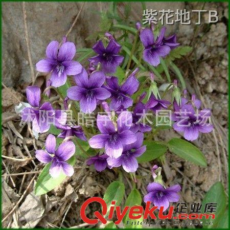 江苏沭阳皓宇花木公司花卉图片