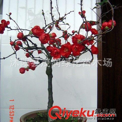 庭院地栽 阳台盆栽海棠老桩盆景棵 贴梗海棠 2厘米粗以上