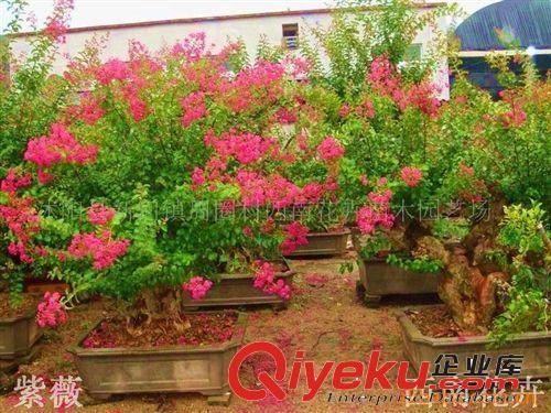 批发供应紫薇盆景,红豆杉盆景,榆树盆景等北方盆景(图)