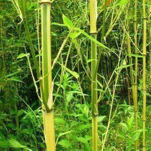 竹子分几种_竹子有哪些品种(全部)?-竹子的种类有哪些?