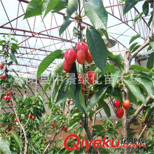 嫁接樱桃苗品种树 车厘子乌克兰 红灯大樱桃南北方栽植盆栽果树苗图图片