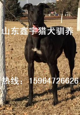 其他特种养殖动物 出售标准格力犬价格