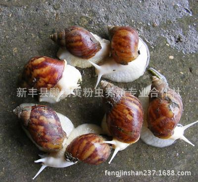 白玉蜗牛养殖前景_白玉蜗牛的养殖前景蜗牛养殖技术荣成致富信