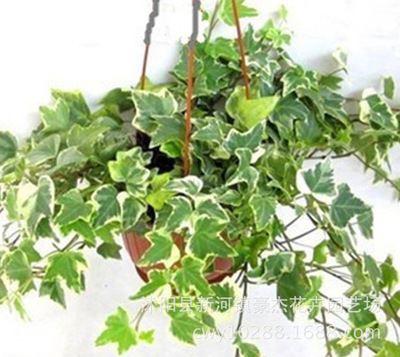 室内外盆栽 批发盆栽植物金边常青藤 常春藤盆栽 金边