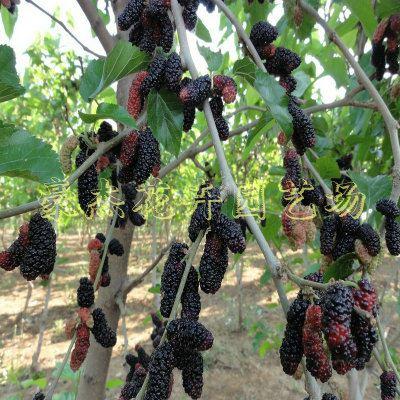 经济果树类 桑葚树苗木