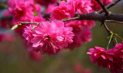 庭荫树,风景树,行道树,防护树,花带 主要观赏部位 观花 花色色系 粉色