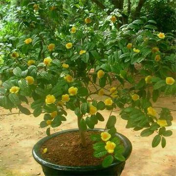 【观赏植物】 厂家直销 室内景观植物花卉 金茶花植物
