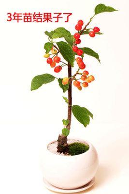 果树苗 果树苗木 樱桃树苗嫁接樱桃苗意大利早红樱桃