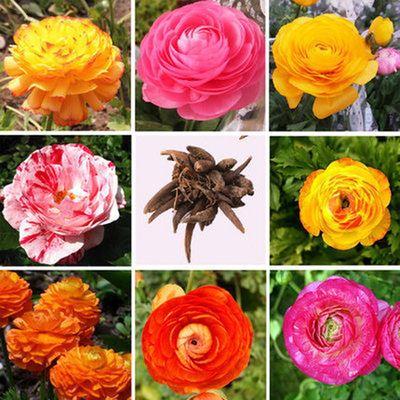 种球类 盆栽种球花卉 花毛莨种球 种根 波斯毛茛植物