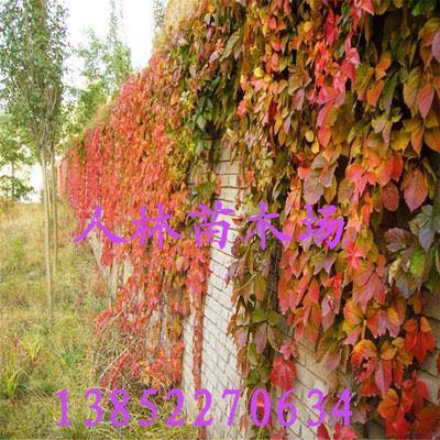 藤本植物 四季攀缘植物 美国地锦 五叶地锦 庭院爬墙爬藤蔓爬类(图)