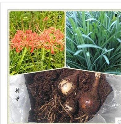 种球类 优质彼岸花石蒜种球批发 花卉植物 货源足 量大优惠 欢迎选购
