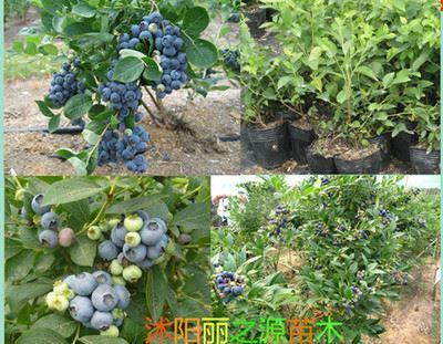 精品果树苗 批发进口美国蓝莓树苗 蓝莓苗 果树苗 盆栽 兔眼 当年可挂