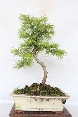 金钱松 金钱松 小型盆景 迷你植物盆栽 桌面小盆栽 微型盆景 植物盆景