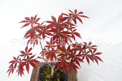 红枫小盆栽 小型盆景