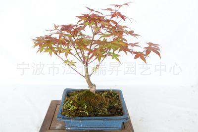 日本红枫 日本红枫 红舞姬红枫 迷你植物盆栽 小型盆景 盆栽植物 微型