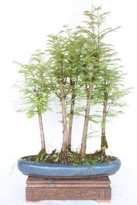 水杉 水杉盆景 室内室外盆栽 微型景观 盆景植物 盆栽植物 苗木盆景
