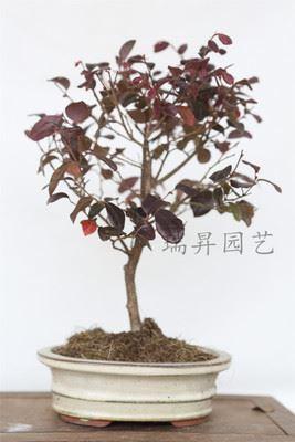 红花继木 红花继木 室内室外盆景 盆栽植物 树桩造型优美盆栽 绿化