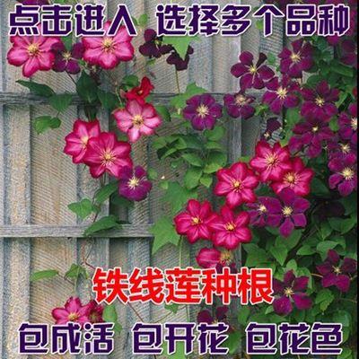 种球 爬藤植物 铁线莲种根 2年根苗 室内盆栽植物 吸甲醛花卉绿植