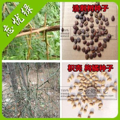 种苗,种子,种球 造刺树种子 枳壳种子 枸橘种子 造刺树苗 围墙高手